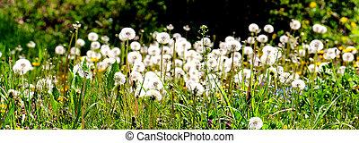 春の花, タンポポ