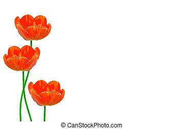 春の花, チューリップ