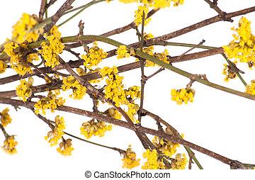 春の花, ブランチ, 黄色