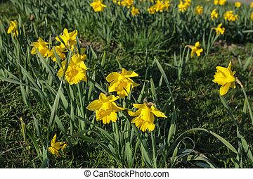 春の花, ラッパズイセン, 黄色