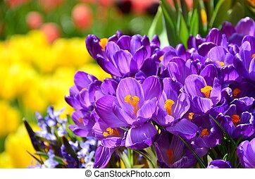 春の花, 休日, 背景, クロッカス