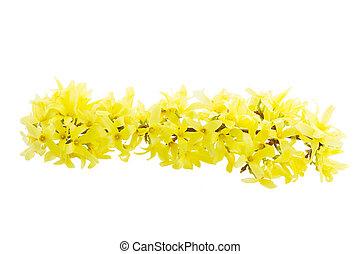 春の花, 木, forsythia