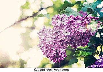 春の花, 緑, ブランチ, ライラック