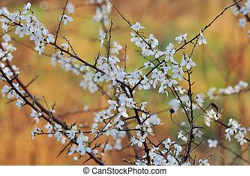 春の花, 背景, さくらんぼ