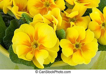 春の花, 背景, 黄色, サクラソウ