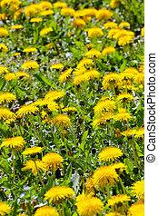 春の花, 黄色, タンポポ
