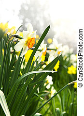 春天, 水仙, 公園, 開花