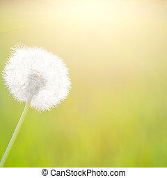 春天, 蒲公英, 在, 陽光