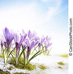 春天, snowdrops, 番紅花, 花, 在