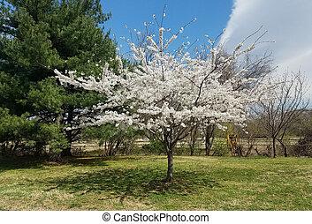 春, さくらんぼ, 咲く, 木