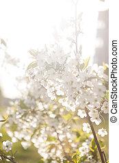 春, イメージ, 咲く, 木, の上, さくらんぼ, 終わり, 白い花
