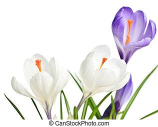 春, クロッカス, 花