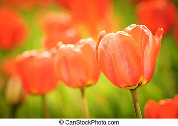 春, チューリップ