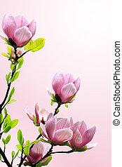 春, モクレンの木, 花, 上に, ピンク, バックグラウンド。