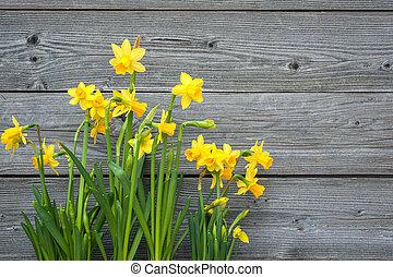 春, ラッパズイセン