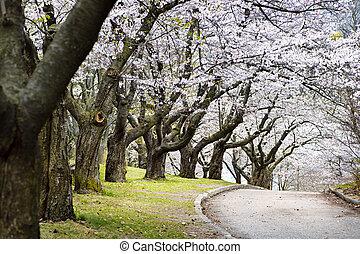 春, リンゴ果樹園