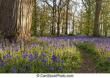 春, 古代, 森林地帯, 時間, ブルーベル