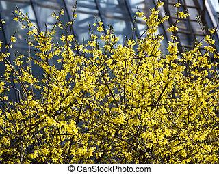 春, 咲く, バックグラウンド。, 黄色, forsythia.