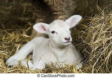 春, 子羊