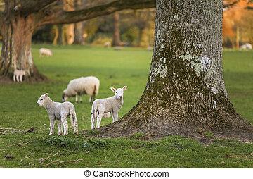 春, 子羊, 赤ん坊のヒツジ, 中に, a, フィールド