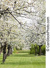 春, 木, さくらんぼ