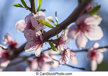春, 桃, 2, 花