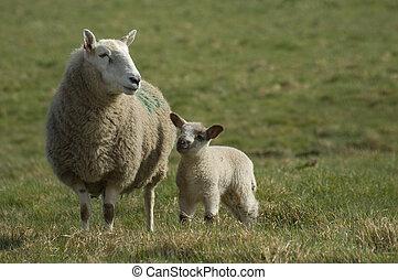 春, 母, sheep, 子羊