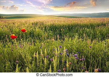 春, 牧草地, の, すみれ, flower.