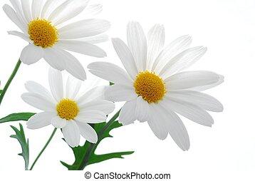 春, 白, マーガレット