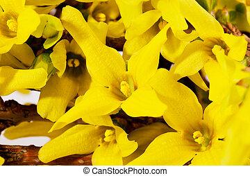 春, 終わり, 花, forsythia, 黄色, の上