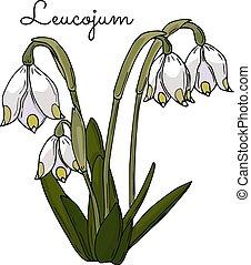春, 美しい, design., 花, あなたの, leucojum