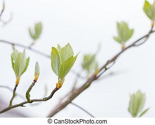春, 葉, 木, 最初に