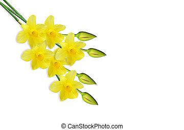 春, 隔離された, 背景, スイセン, 白い花