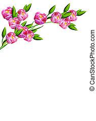 春, 隔離された, 背景, チューリップ, 白い花