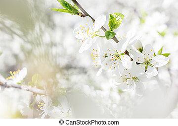 春, flowers., 自然, 背景, さくらんぼ