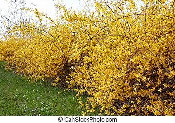 春, forsythia, 花, 両掛け, 黄色