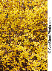 春, forsythia, 花, 黄色の背景