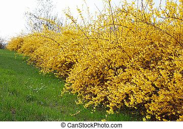 春, forsythia, 花, 黄色