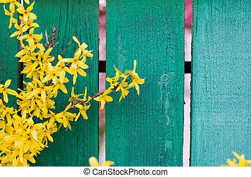 春, forsythia, 黄色の背景, 咲く, 花