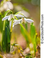 春, nivalis), (galanthus, 森林, 花, snowdrop