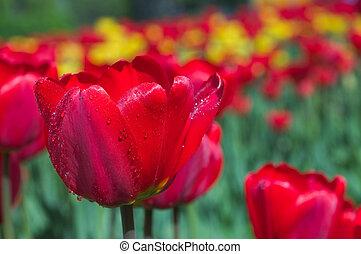 春, tulips.