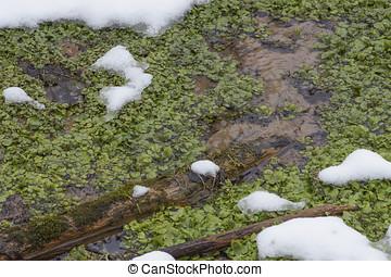 春, watercress