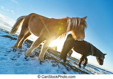 景色。, 馬, 群れ, アイスランド語, 冬