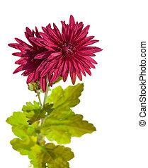 暗い, 赤, 菊, 花, 隔離された, 白