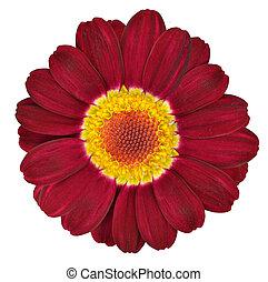 暗い, 赤, gerbera, 花, 隔離された, 白