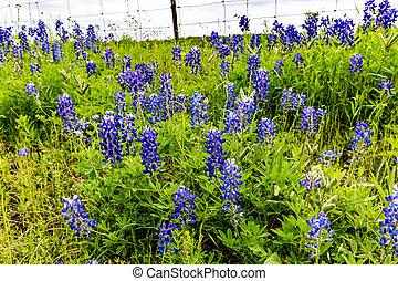 有刺鉄線の塀, 野生の花, (lupinus, bluebonnet, texensis), テキサス