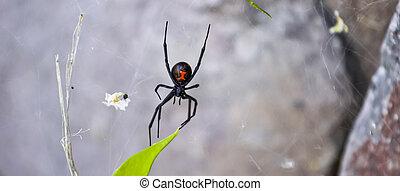 有毒, 布萊克寡婦, 蜘蛛