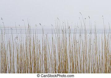 有霧, 乾燥, 針對, 背景, 湖, 蘆葦