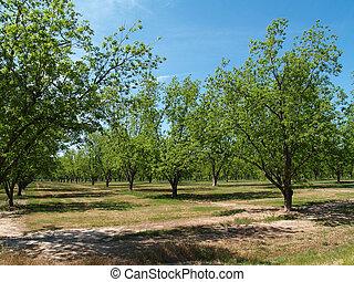 木立ち, ジョージア, pecan, 南, 成長した