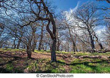 木立ち, 古い, オーク, 春